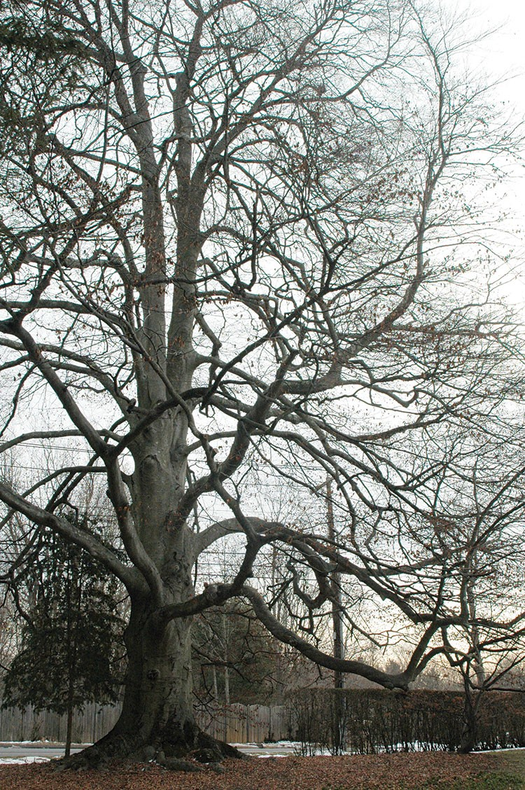 Group Seeks to Identify Notable Trees in Town